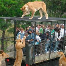 Bu Hayvanat Bahçesinde İnsanlar Kafese Giriyor Hayvanlar Kafesin Dışından Onları İzliyor