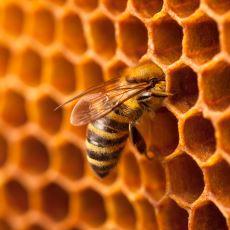 Arılar Yediğimiz Balı Tam Olarak Nasıl Üretiyor?