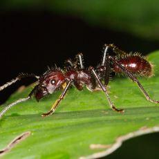 Bir Böcek Uzmanına Göre, Sokması En Çok Acı Veren Eklembacaklı: Mermi Karınca
