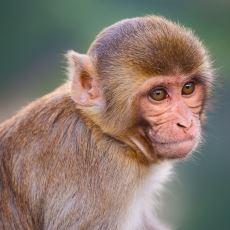 RH Kan Grubuna İsim Verenin Rhesus Maymunu Olması