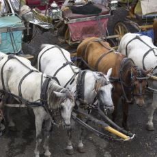 Büyükada'daki Atların İtlaf Edilmesine Neden Olan Ruam Hastalığı Nedir?