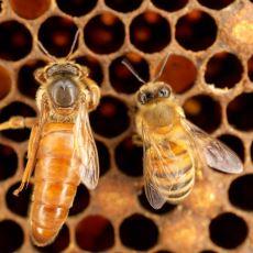 Kraliçe Arıların Diğer Arılarla Aynı Gene Sahip Olmasına Rağmen Görünümü Neden Daha Farklı?