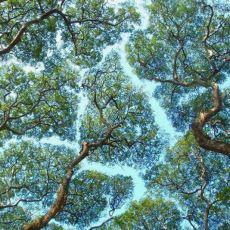Doğanın Ne Kadar Zarif Olduğunu da Gösteren İlginç Olay: Taç Utangaçlığı