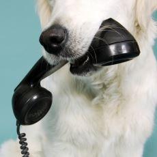 Köpekler Telefonda Kendilerine Seslenildiğinde Sahiplerini Neden Tanımaz?