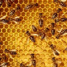 Arılar Nasıl Mumyalama İşlemi Yapabiliyor?