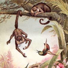 Primatlarda Doğal Bir Ahlak Anlayışı Olduğunu Kanıtlayan Maymun Adalet Deneyi