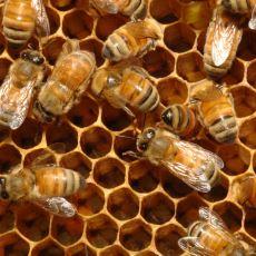 Eşek Arılarını Vücut Isılarını Artırarak Kızartan Küçük Canavarlar: Japon Bal Arıları