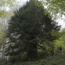 Zonguldak'ta Bulunan 4112 Yaşındaki Porsuk Ağacı