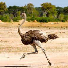 Deve Kuşunun Gerçek Bir Tehlike Anında Başını Kuma Sokmak Yerine Var Gücüyle Koşması