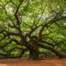 Ağaç Yaşı Nasıl Hesaplanır?