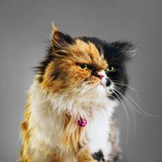 """""""Tüm Üç Renkli Kediler Dişidir"""" Efsanesi Ne Kadar Doğruluk Payı Taşıyor?"""