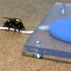 Arıların Yiyeceğe Ulaşmak İçin Araç Kullanmayı Öğrenme ve Diğerlerine Öğretme Yeteneği