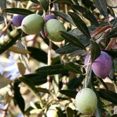Çok Sert Yapıda Olan Zeytin Çekirdeği Nasıl Çimlenip Ağaca Dönüşebiliyor?