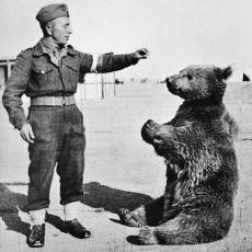 Polonyalıların II. Dünya Savaşı'nda Bulup Bir Asker Gibi Eğittiği Ayı Wojtek'in Acayip Hikayesi