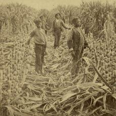 Batı Toplumlarında Büyük Mücadelelere Sebep Olan Şekerin Kanlı Tarihi