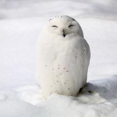Kafanızdaki Baykuş İmajını Değiştirecek Güzellikte Bir Kuş: Kar Baykuşu