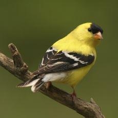 Nesli Tükenme Tehlikesi Altında Olan Aşırı Tatlış Bir Kuş: Saka