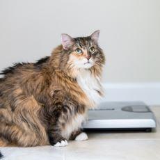 Obez Kedi Nasıl Zayıflatılır?