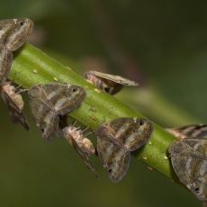 Doğu Karadeniz'i İstila Eden Vampir Kelebek: Ricania Simulans