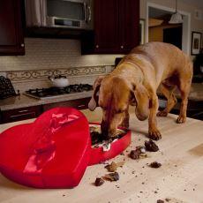 Çikolatanın Kedi ve Köpekler İçin Ölümcül Bir Zehir Olması