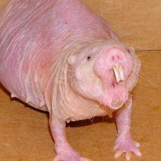 18 Dakikaya Kadar Oksijensiz Yaşayabilen İlginç Hayvan: Çıplak Kör Fare