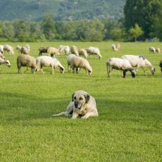 Kangallar Neden Muhteşem Çoban Köpekleri Olabiliyor?