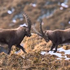 Yılan Soktuğunda Panzehirini Bulup İçen Akıllı Dağ Keçisi: Bezuar