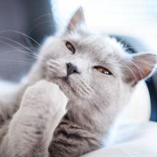 Kedilerin Anlam Veremediğiniz Garip Davranışlarının Altında Yatan Psikolojik Nedenler