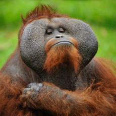 Çok İyi Taklit Yetenekleri Olan Orangutanlarla İlgili Belgesel Tadında Bilgiler