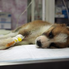 Özellikle Yavru Köpekler İçin Büyük Tehlike Olan Gençlik Hastalığı Nedir?