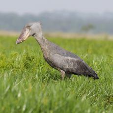 Jurassic Park'tan Çıkıp Gelmiş Gibi Görünen İlginç Kuş: Pabuç Gagalı