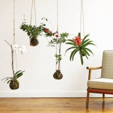 Yosun Topları İçinde Saklı Köklerle Modern Evlerin Yeni Trendi: Kokedama Bitkileri