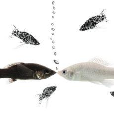 Balıkların Şaşırtıcı Ebeveynlik Yeteneklerini Anlatan Videolar