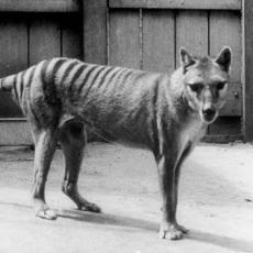 1930'larda Nesli Tükenen Avustralya'ya Özgü Bir Etçil Keseli: Tasmanya Kaplanı