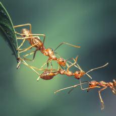 Karıncaları Trolleyen Biyoloğun Karıncalarla İlgili Keşfettiği Acayip Şey
