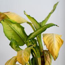 Bitkilerde Kök Çürümesi, Küf ve Sarı Leke Sorunları Nasıl Çözülür?