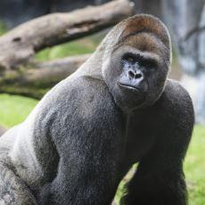 Goriller Vücut Çalışmamasına Rağmen Neden Kaslılar?