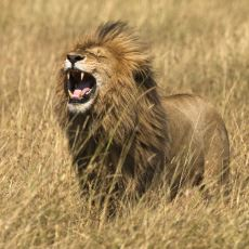 İngilizcede Hayvan Sesleri Nasıl Telaffuz Ediliyor?