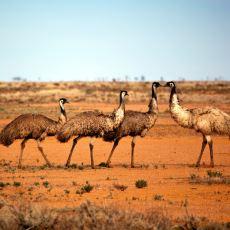 Deve Kuşları ile Avustralya Hükümeti Arasında 1932'de Çıkan Tarihin En İlginç Savaşlarından Biri