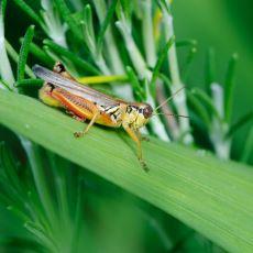 Eskiden İnsanların Sıcaklığı Ölçmek İçin Cırcır Böceklerini Kullandığı İlginç Yöntem