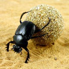 Yaptıklarıyla Ekolojik Denge İçin Çok Kilit Bir Rol Oynayan Hayvan: Bok Böceği