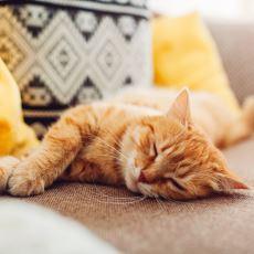 Kediler Neden Bu Kadar Çok Uyuyor?