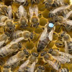 İşçi Arıların Kraliçe Arıyı Kovmaya Karar Vermesinden Sonra Gelişen İnanılmaz Olaylar