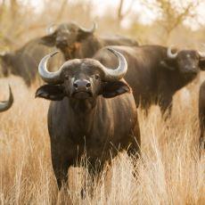 Gramer Açısından Doğru Sayılan Bir Cümle: Buffalo buffalo Buffalo buffalo buffalo buffalo Buffalo buffalo