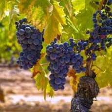 Elazığ Yöresine Ait İri Taneli Şaraplık Üzüm Çeşidi: Öküzgözü