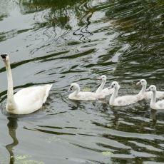 Yavru Kazların Annelerinin Peşine Takılarak Çizgi Halinde İlerleyebilmesini Açıklayan Olay: Imprinting