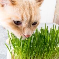 Kedilerin Midelerini Rahatlatan Kedi Çimi Hakkında Bilinmesi Gerekenler