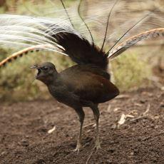 Doğada Duyduğu Tüm Sesleri Taklit Edebilen İnanılmaz Hayvan: Lir Kuşu