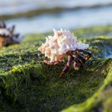 Boy Sırasına Girerek Kendilerine Deniz Kabuğu Kapmaya Çalışan İlginç Yengeçler