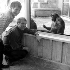 Amerikan İşaret Dilini Konuşan İnsan Dışı İlk Canlı: Şempanze Washoe